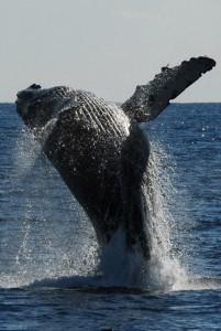 奄美大島周辺で出現確認数が過去最多となったザトウクジラのジャンプ=1月27日、奄美市名瀬の小湊沖