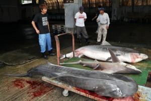 奄美市名瀬の沖合で駆除された3匹のサメ=25日、名瀬漁協