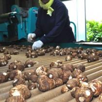 町内の選別場に次々と運び込まれる石川サトイモ=18日、与論町