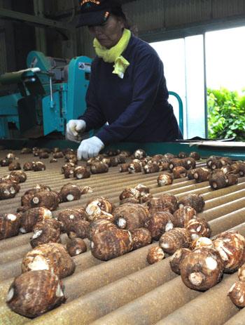 石川サトイモ出荷最盛期 与論町 | 南海日日新聞