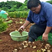 畑でユリの球根の掘り取り作業に汗を流す生産者=19日、和泊町