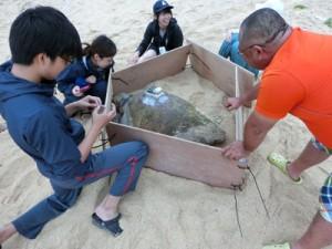 調査の目的でアカウミガメに衛星発信機を取り付けた近大の学生ら(提供写真)=8日、沖永良部島内の浜