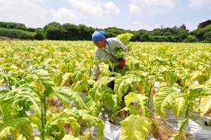 収穫作業がピークを迎えている沖永良部島特産の葉タバコ=5日、知名町住吉
