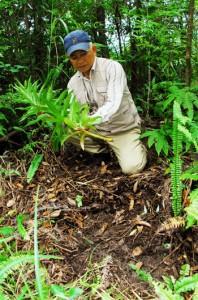 ウケユリの球根を抜き取られ、切断された茎が放置された盗掘跡=12日、奄美大島の山中