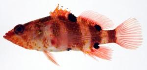 与論町沖で見つかったトビイシハナダイ(鹿児島大学総合研究博物館提供)