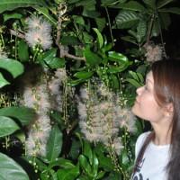 名瀬市街地で花を咲かせているサガリバナ=13日夜、奄美市水道局前