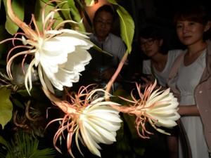 甘い香りを漂わせる月下美人の大輪の花=7日午後11時半ごろ、奄美市名瀬