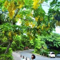 黄金の雨が降り注ぐように、たくさんの黄色い花が垂れ下がるゴールデンシャワー=21日、知名町