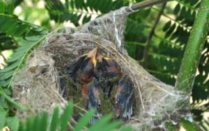 巣の中で身を寄せ合うに寝ているメジロのひな=1日、知名町