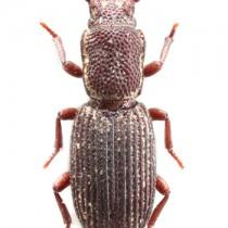 新種に認定されたアマミツヤナガヒラタホソカタムシ(西さん提供)