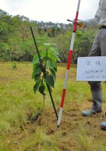 移植当時で高さ88㌢のワダツミノキ=2014年11月、龍郷町(県森林技術総合センター提供)