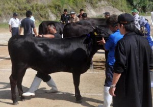 29頭が出場し、グランドチャンピオンを競った徳之島町肉用牛共進会=23日、天城町三京