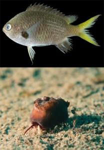 和名「キホシスズメダイ」(上)。奄美群島では食用魚として流通し、琉球列島沿岸ではよく見られる魚。しかし、和名「キホシスズメダイ」に対応する学名がないことが判明したため、2013年に新種記載された=撮影・鹿児島大学総合研究博物館 写真下は、和名「トゲツノヤドカリ属未記載種」。通常、ホシムシと呼ばれる細長い生物を骨格にすまわせ運んでもらうことで、不安定な砂泥底のみで生息できるスツボサンゴというサンゴの仲間。正式な名前(学名)のない「未記載種」という位置づけにあり、近い将来、新種として発表される可能性がある=撮影・藤井琢磨鹿児島大学国際島嶼教育センター奄美分室特任教授