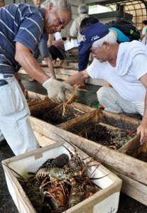 次々と水揚げされた生きのいいイセエビ=21日、名瀬漁協