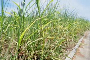 ロール現象に加え、葉枯れも見られるようになったサトウキビ畑=17日、与論島