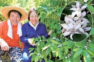 沖永良部島珈琲研究所の園で開花したコーヒーの木と、夫と二人三脚でコーヒー栽培に取り組む東さつきさん(右)=1日、和泊町
