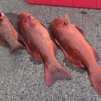 奄美市住用町の稚魚放流海域で漁獲されたハージン(提供写真)