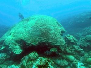 海洋の酸性化で骨格形成への悪影響が懸念されるハマサンゴ=喜界町荒木沖(資料写真)