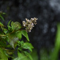 アマミクサアジサイ咲く170915山崎