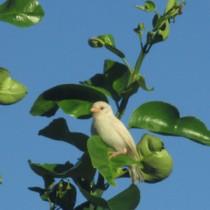 木に止まる白いスズメ=8月25日、喜界町先内(積山忠久さん撮影)