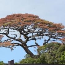 葉が赤く変色している「朝仁の千年松(リュウキュウマツ)」=10月11日、奄美市名瀬