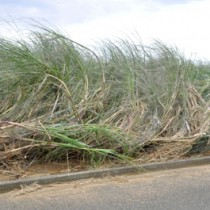 台風22号の影響で深刻な被害が懸念されるサトウキビ=30日、天城町天城