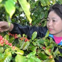 赤く色付いたコーヒーの実を収穫する東さん =10月26日、和泊町