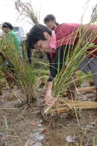 稲作体験で稲刈りをする奄美市の新入職員=9日、奄美市笠利町