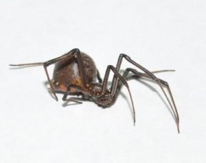 和泊町内で6日に発見された特定外来生物セアカゴケグモ