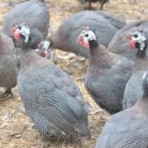 与論島で養鶏されているホロホロ鳥