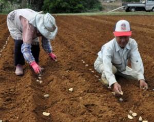 バレイショの植え付け作業を行う生産者=15日、伊仙町検福