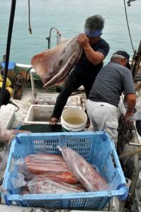 漁が解禁され、漁港に次々と水揚げされるソデイカ=4日、与論町