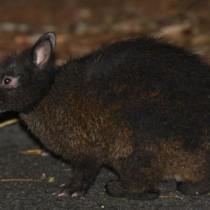 国の特別天然記念物のアマミノクロウサギ