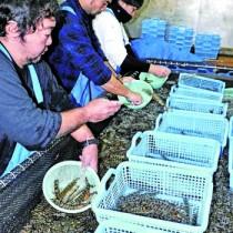 クルマエビを大きさごとに分類する作業に追われる宇検養殖の作業員ら=22日、宇検村