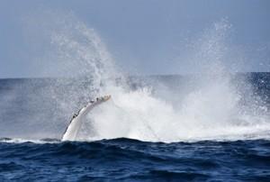 迫力満点のパフォーマンスを繰り広げたザトウクジラ=18日、奄美市笠利町の土盛海岸沖