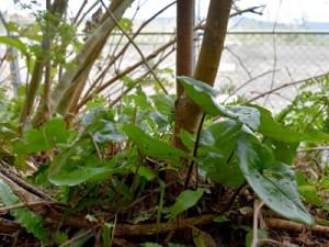 通信施設予定地のすぐそばの世界自然遺産推薦区域に生えるフジノカンアオイ=2017年11月、奄美大島の湯湾岳