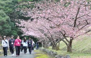 満開の桜並木も歩いたまほろば大和ウオーキング大会=28日、大和村の奄美フォレストポリス