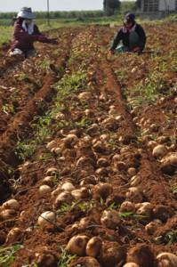 奄美でも栽培が盛んなジャガイモ。農林水産省は食中毒防止で適正な管理を呼び掛けている