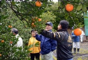 出荷開始を前にタンカンの作況などを確認した園地視察=26日、奄美市名瀬