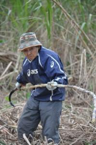 慣れた手つきでキビの収穫作業を行う生産者の女性=24日、与論町那間