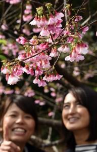 愛らしい紅色の花がほころび始めたヒカンザクラ=10日、龍郷町の奄美自然観察の森