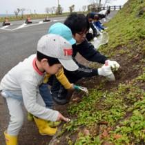 緊急対策外来種のアメリカハマグルマを駆除する参加者=20日、奄美市名瀬の大浜海浜公園