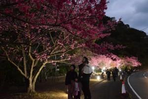 ライトアップされた県道沿いのヒカンザクラ=27日、龍郷町秋名