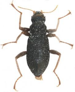 奄美大島で見つかった新種の水生昆虫「アマミヨコミゾドロムシ」(提供写真)
