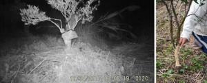 タンカン果樹の枝上で樹皮を食べるアマミノクロウサギ(左、鹿児島大学国際島嶼教育研究センター奄美分室提供)と、食害を受けた被害樹=2日、大和村の果樹園