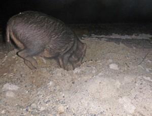 ウミガメの産卵巣を掘り起こすリュウキュウイノシシ(奄美海洋生物研究会提供)