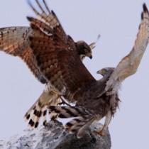 石碑の上に並んで仲良く鳴き声を響かせていたが、突如にらみ合いになり、けんかを始めた2羽のサシバ(前利さん撮影)=30日、知名町