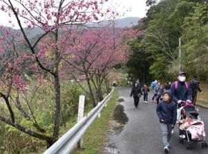 ヒカンザクラの花見を楽しみながらウオーキングを楽しんだ参加者ら=11日、奄美市住用町川内