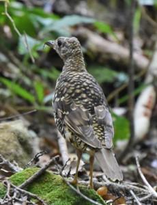 奄美大島固有の野鳥オオトラツグミ