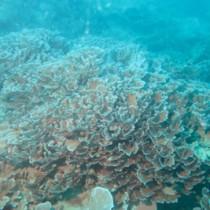 大島海峡で見つかった最北限記録のアミトリセンベイサンゴ(藤井琢磨さん提供)